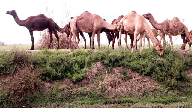 Grazing camel in the nature video