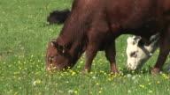 HD: Grazing cattle video