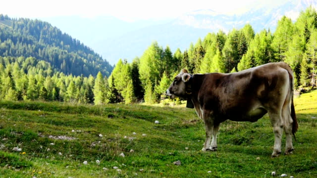 Grazing cow on mountain meadow video