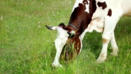 Grazing cow video