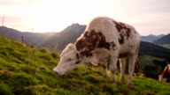 Grazing cows in high mountain landscape video