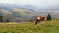 Grazing Cows. Pieniny Mountains, Poland. Autumn. video