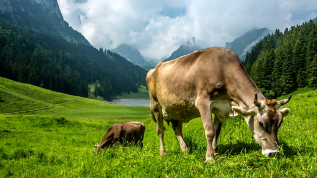 Grazing Cows video