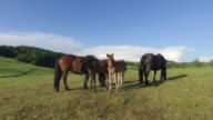 Grazing horse family. video