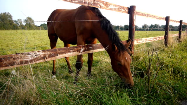 Grazing horse in Normandy, France video