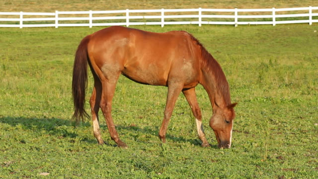 Grazing Horse video