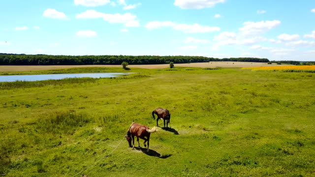 Grazing Horses In A Meadow video
