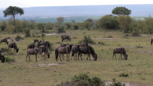 GNU Grazing In The African Reserve. video