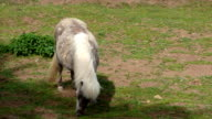 Grazing light brown pony video