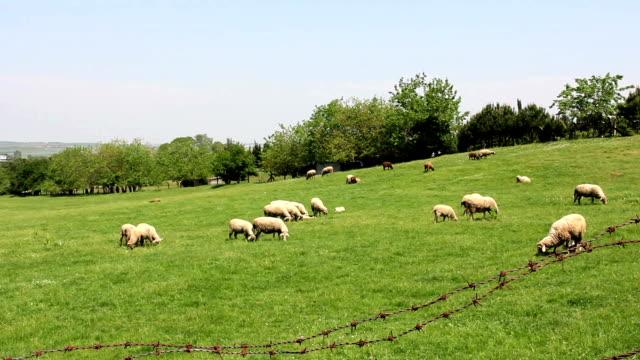 Grazing Sheeps video