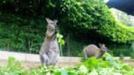 grazzing Red-necked Wallaby (Macropus rufogriseus) video