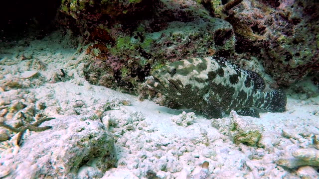 Greasy grouper on coral reef - Maldives video