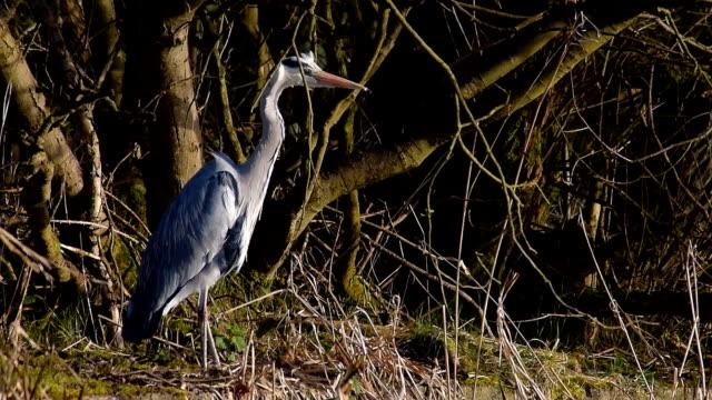 Great Blue Heron At River Bank video