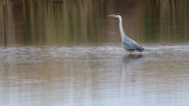 Great Blue Heron fishing in the low lake waters video
