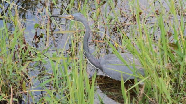 Great Blue Heron fishing video