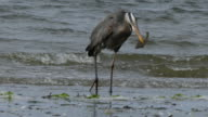 Great blue heron holding fish in beac video