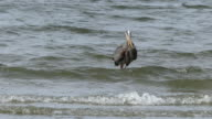 Great blue heron holding fish video