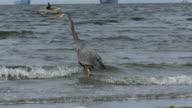 Great blue heron kayaker video
