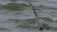 Great blue heron lookinf at waves video