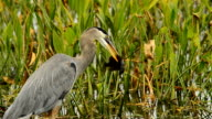 Great blue heron swallowing a large dark fish video