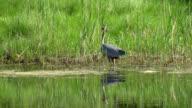 Great Blue Heron video