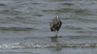 Great blue heron wading water video