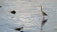 Great Blue Heron Wild Bird Animal Wildlife River Hunter video