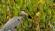 Great Blue Heron with fish impaled on its beak video