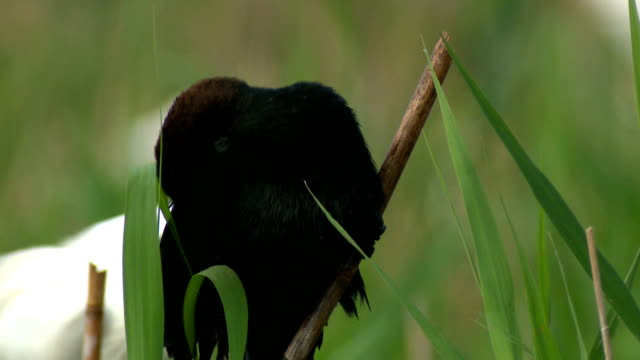 Great cormorant video