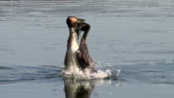 Great Crested Grebe courtship dance ritual 'weed dance' - full dance medium close up video