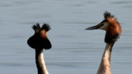 Great Crested Grebe courtship dance ritual 'weed dance' - head shaking, close up neck and heads video