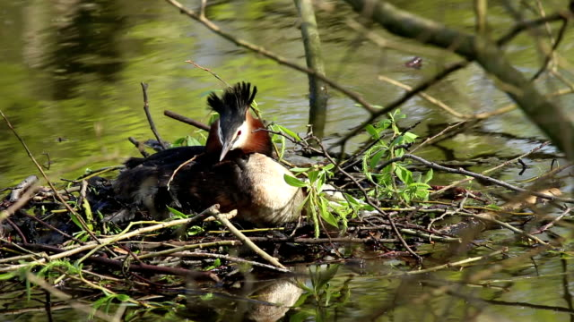 Great Crested Grebe video