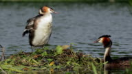 Great crested grebes (Podiceps cristatus) nesting video