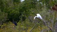 Great Egret, Ardea alba, and Little Blue Heron, Egretta caerulea video