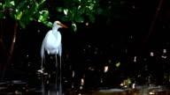 Great Egret, Ardea alba, in mangroves video