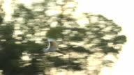 A Great Egret flies over the sea video