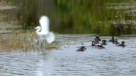 Great Egret Flying Into a Marsh with a Small Flock of Hooded Mergansers Swim Past video