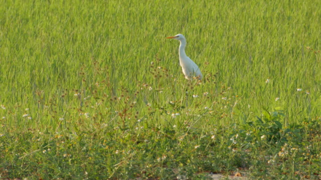 great egret running in the green paddy field video