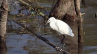 Great Egret stretching video