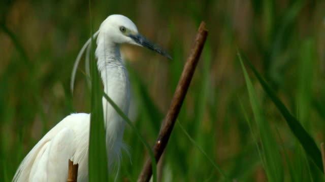 Great egret video