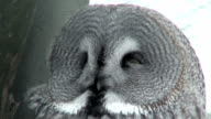 Great gray owl (Strix nebulosa) close-up (HD 1080i/50) video