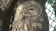Great gray owl three (Strix nebulosa) close-up (HD 1080i/50) video