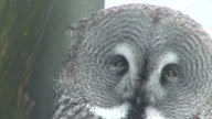 Great gray owl (Strix nebulosa) three video