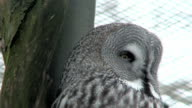 Great gray owl (Strix nebulosa) two (HDV1080i/50) video