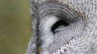 Great grey owl  close up video