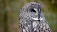 Great grey owl video