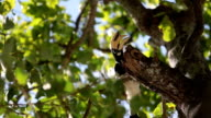 Great Hornbill bird video