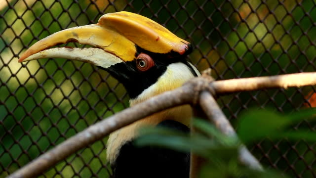 great hornbill in cage video