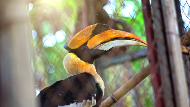 Great hornbill in cage. video