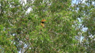 Great Hornbill perching on a branch video